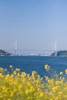 女神大橋と菜の花