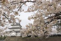 新発田城の桜