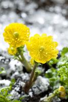 雪解けと福寿草 11031081347| 写真素材・ストックフォト・画像・イラスト素材|アマナイメージズ