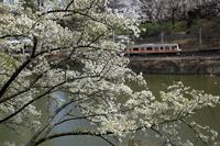 桜とJR中央線電車 11031081824| 写真素材・ストックフォト・画像・イラスト素材|アマナイメージズ