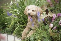 お庭の花とトイプードル 11031082238| 写真素材・ストックフォト・画像・イラスト素材|アマナイメージズ