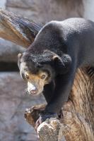 天王寺動物園のマレーグマ