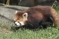 天王寺動物園のレッサーパンダ