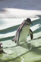 フンボルトペンギンのこども