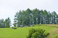 草原の牛たち