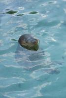 のんびり浮かぶゴマフアザラシ