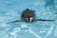 泳ぐフンボルトペンギン