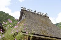 茅葺き屋根とコスモス