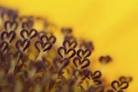 ハートの形をしたヒマワリの筒状花のクローズアップ