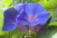青い夕顔の花