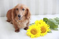 ミニチュアダックスフンドとひまわりの花