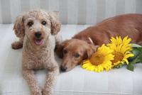 ペットとひまわりの花