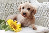 トイプードルとひまわりの花