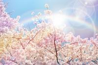虹とさくら 11031085233| 写真素材・ストックフォト・画像・イラスト素材|アマナイメージズ