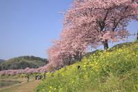 河津桜(みなみの桜)