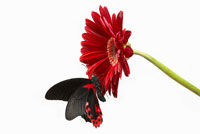 Butterfly on red gerbera