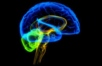 human brain 11037000002| 写真素材・ストックフォト・画像・イラスト素材|アマナイメージズ