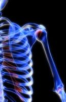pectorial girdle