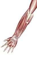 muscles of forearm 11037000124| 写真素材・ストックフォト・画像・イラスト素材|アマナイメージズ