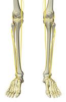nerves of leg