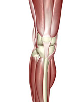 muscles of knee