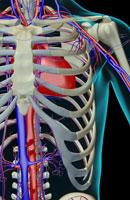blood supply of shoulder