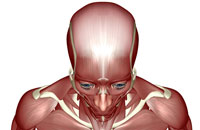 muscles of head and face