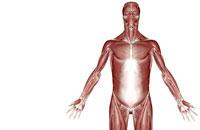muscles of upper body 11037000749| 写真素材・ストックフォト・画像・イラスト素材|アマナイメージズ