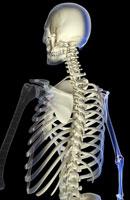 bones of upper body 11037000860| 写真素材・ストックフォト・画像・イラスト素材|アマナイメージズ