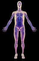 muscular system 11037000871| 写真素材・ストックフォト・画像・イラスト素材|アマナイメージズ