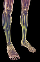 muscles of legs