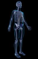 skeletal system 11037001485| 写真素材・ストックフォト・画像・イラスト素材|アマナイメージズ