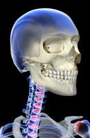 bones of head, neck and face 11037001505| 写真素材・ストックフォト・画像・イラスト素材|アマナイメージズ