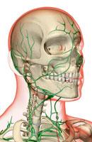 lymph supply of head 11037001563| 写真素材・ストックフォト・画像・イラスト素材|アマナイメージズ