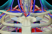 blood supply of neck 11037001622| 写真素材・ストックフォト・画像・イラスト素材|アマナイメージズ