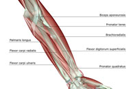 Forearm musculoskeleton