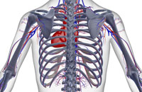 blood supply of upper body 11037001800| 写真素材・ストックフォト・画像・イラスト素材|アマナイメージズ