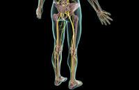 nerves of lower body