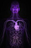blood vessels of upper body 11037001982| 写真素材・ストックフォト・画像・イラスト素材|アマナイメージズ