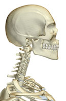 bones of head, neck and face