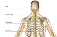 nerve supply of upper body