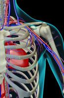 blood supply of shoulder 11037002448| 写真素材・ストックフォト・画像・イラスト素材|アマナイメージズ