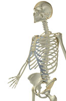 bones of upper body