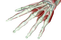 musculoskeleton of hand