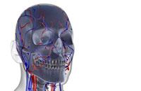 blood supply of head and face 11037002655| 写真素材・ストックフォト・画像・イラスト素材|アマナイメージズ