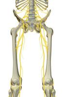 nerves of lower limb