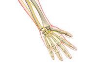 nerves of hand