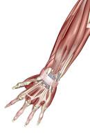 muscles of forearm 11037002742| 写真素材・ストックフォト・画像・イラスト素材|アマナイメージズ