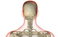 bones of head and neck