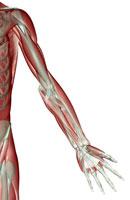 Upper limb musculoskeleton 11037002993| 写真素材・ストックフォト・画像・イラスト素材|アマナイメージズ